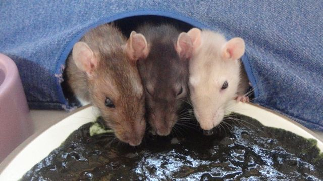 Room Service Ratties