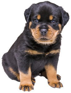 So Cute Rottie Pup