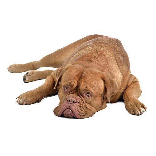 Bordeaux Dog Chilling Out
